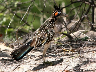 greater roadrunner with cicada