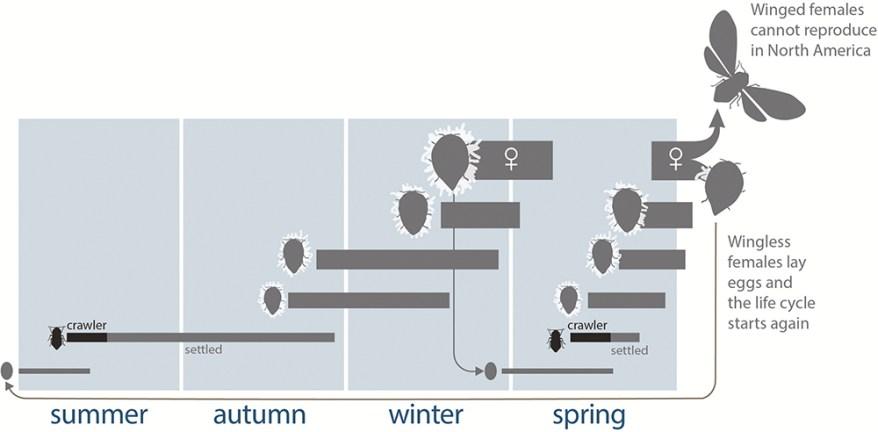 hemlock wooly adelgid life cycle