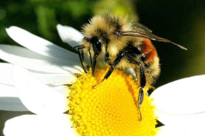 tricolored bumble bee - Bombus ternarius