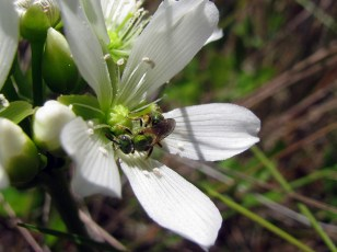 Augochlorella sweat bee on Venus flytrap flower