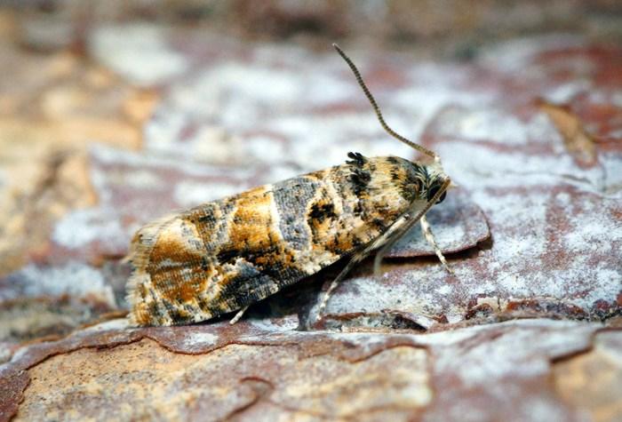 European grapevine moth - Lobesia botrana
