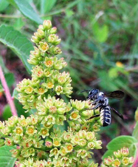 Megachile bee on Rhus michauxii female flowers