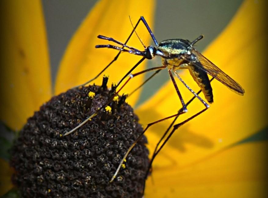 Toxorhynchites rutilus mosquito