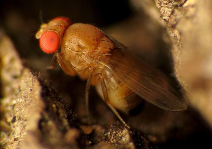 spotted-wing drosophila - Drosophila suzukii