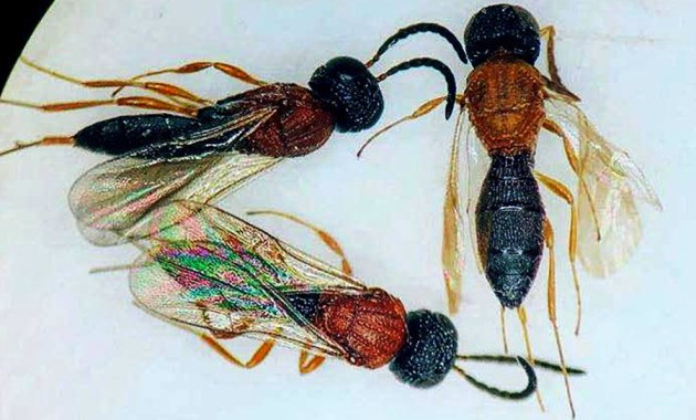 wasp specimens with black-orange-black color pattern - closeup