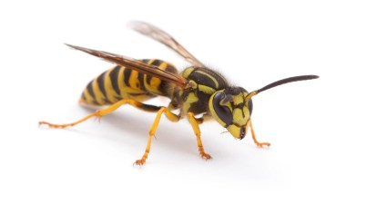 yellowjacket - Vespula squamosa