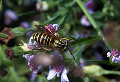 yellowjacket - Vespula squamosa