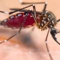 Aedes aegypti mosquito - closeup