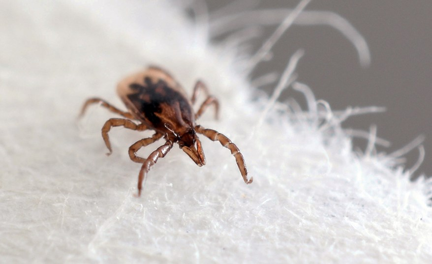 blacklegged tick nymph - Ixodes scapularis