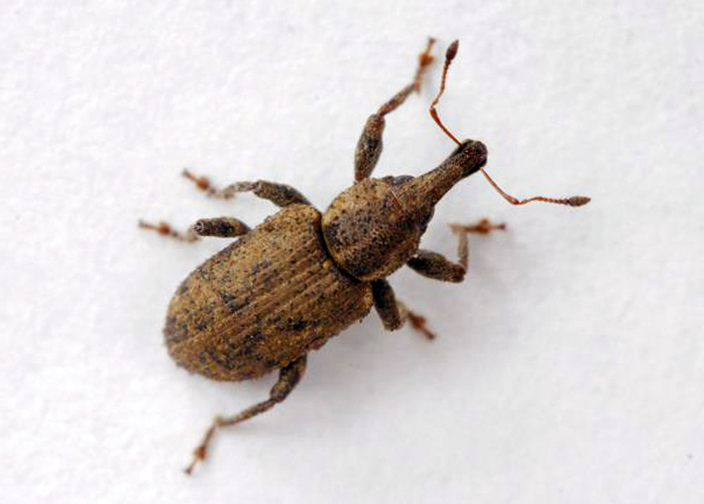 New Guide Offers Latest in Carrot Weevil Management
