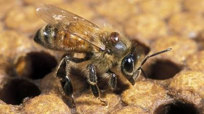 honey bee with varroa mite