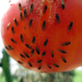African fig fly on tomato