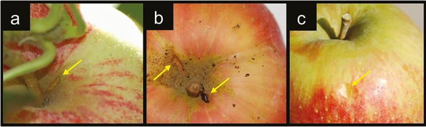 Apples damaged by European earwig