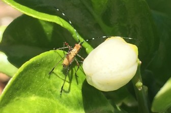 forktailed bush katydid nymph (Scudderia furcate)