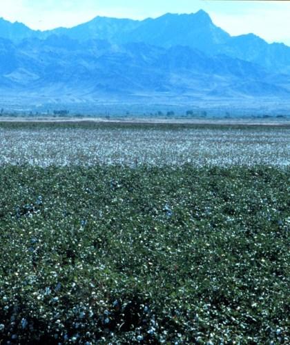 Bt cotton field