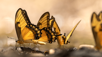 Swallowtail butterflies puddling on the Pipeline Road