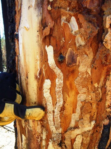 Woodboring beetle activity in a tree