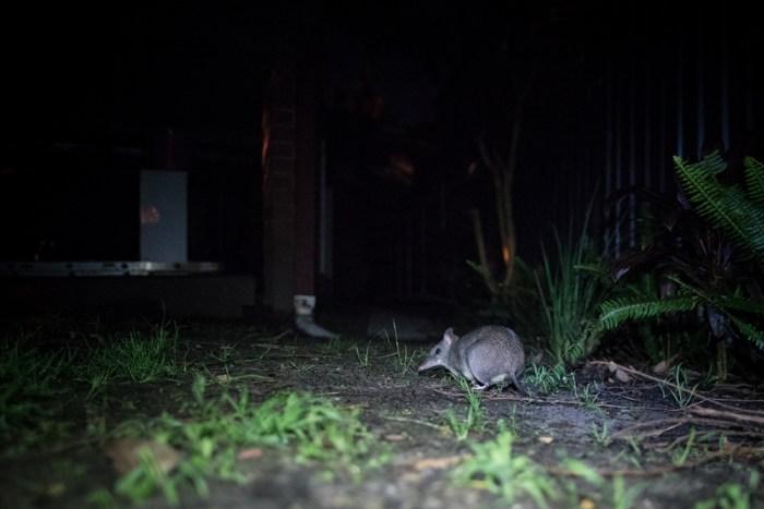bandicoot in backyard