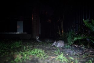 bandicoot in backyard