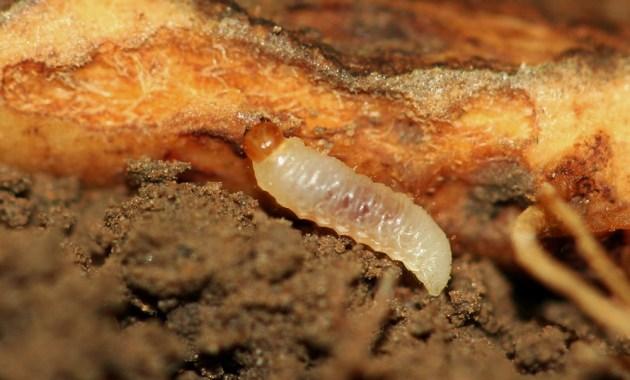 clover root curculio - Sitona hispidulus - larva