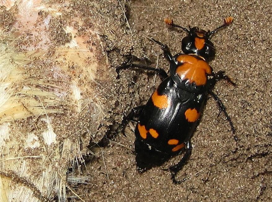 American burying beetle - Nicrophorus americanus