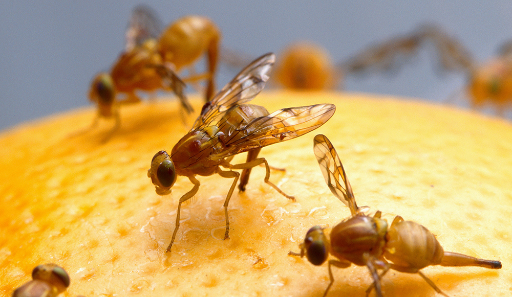 For Mass-Rearing Sterile Fruit Flies, Fewer Males Means More Efficient Mating