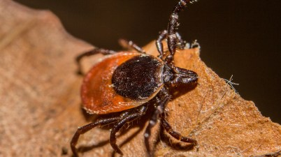blacklegged tick - Ixodes scapularis