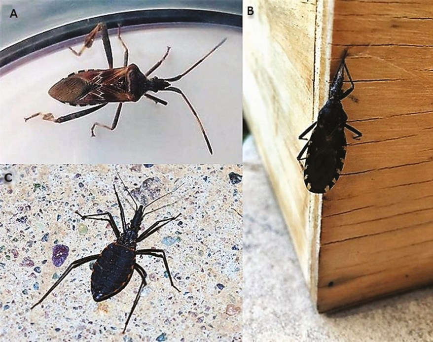 western conifer-seed bug and kissing bugs comparison