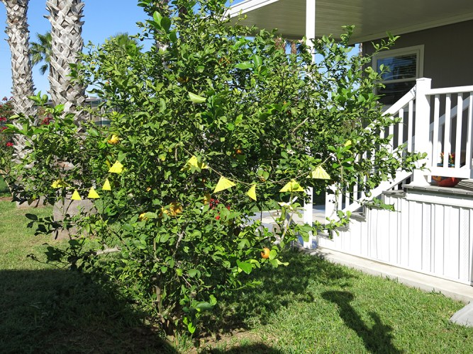 Attract-and-kill device for Asian citrus psyllid - strung on tree