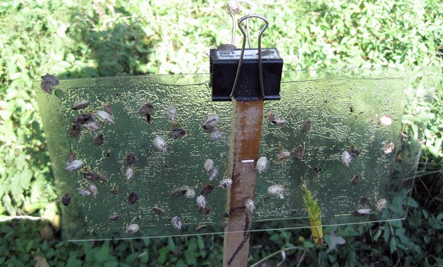 brown marmorated stink bug sticky panel trap