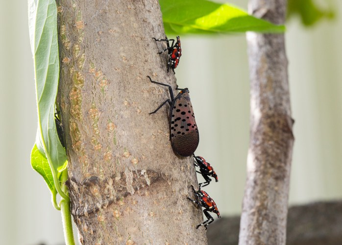 spotted lanternfly adult and nymphs