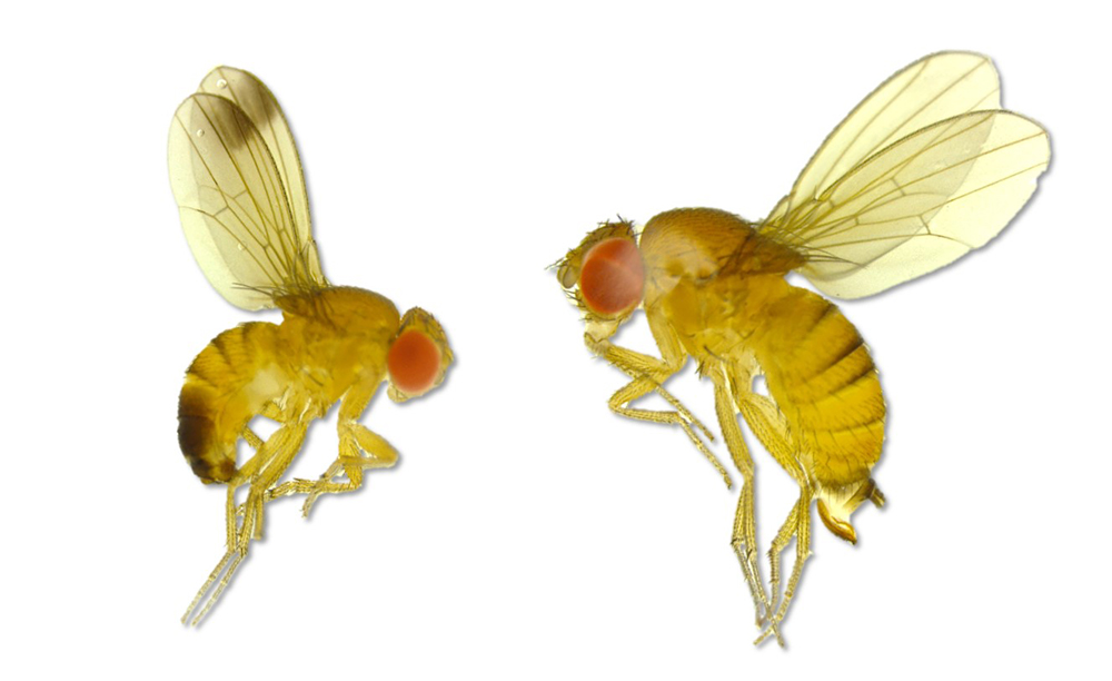 Spotted-Wing Drosophila: New Seasonal Activity Model Will Aid IPM Efforts