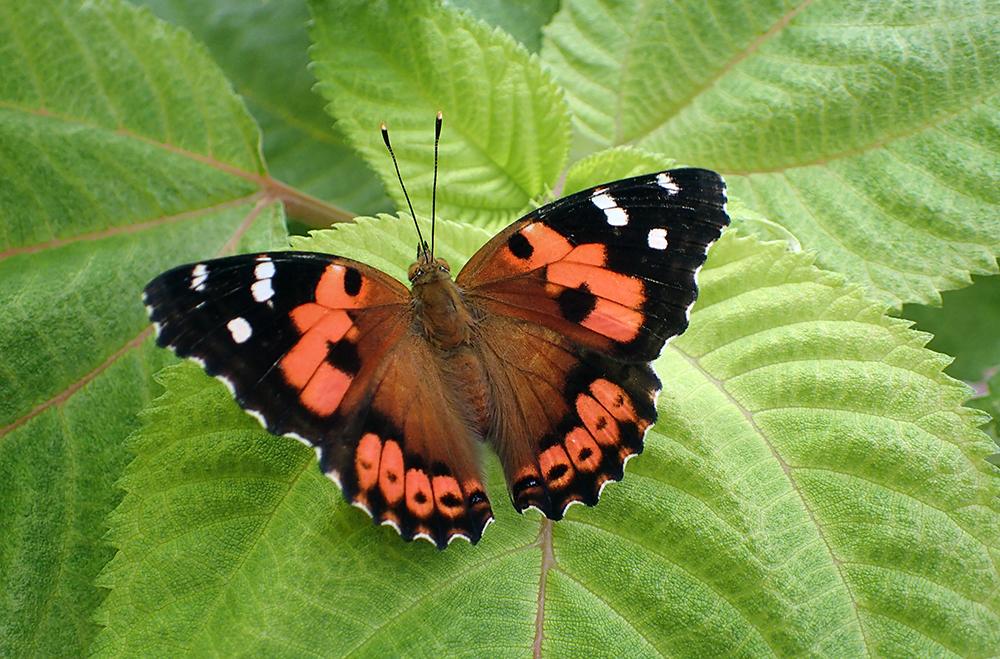 Bộ sưu tập cánh vẩy 6 - Page 12 Kamehameha-butterfly-Vanessa-tameamea