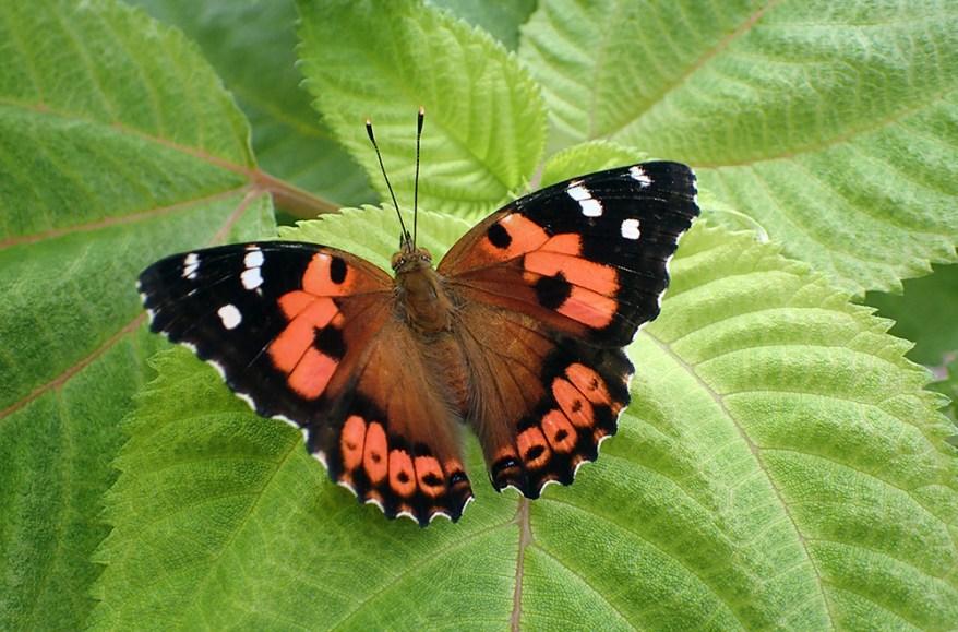 Kamehameha butterfly - Vanessa tameamea