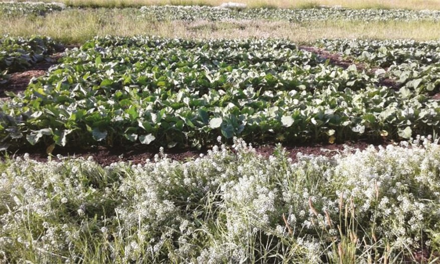 flowering alyssum trap crop by kale field