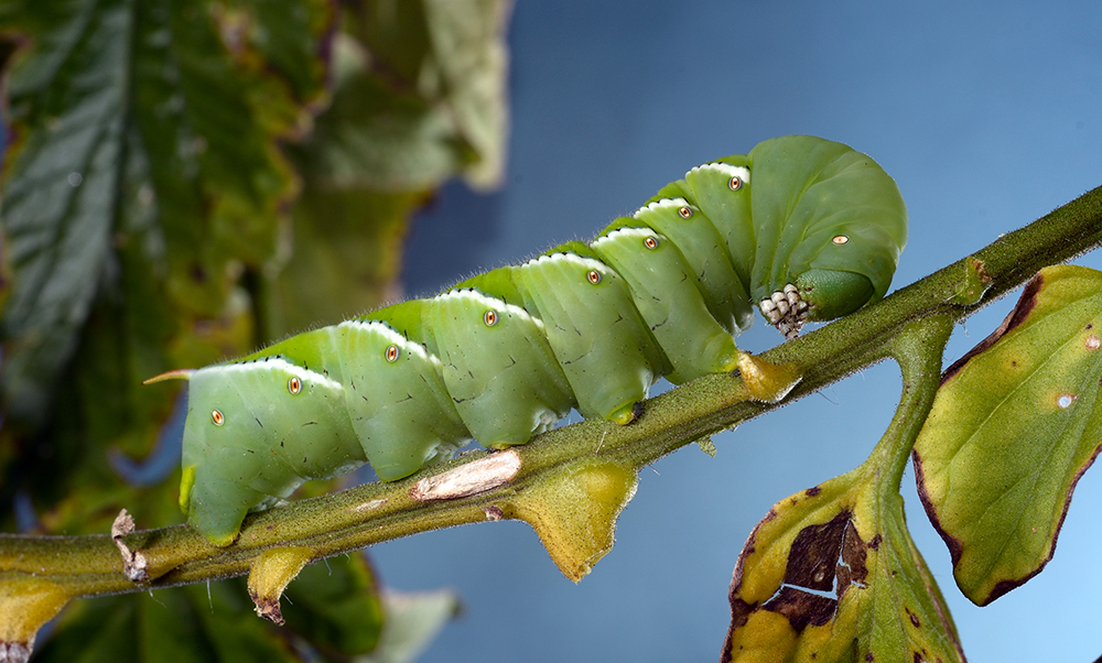 Advanced Morphology Techniques Reveal Tobacco Hornworm's Secrets