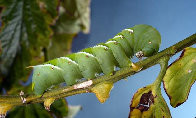 tobacco hornworm - Manduca sexta