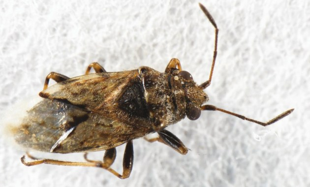 wheat bug - Nysius huttoni - adult