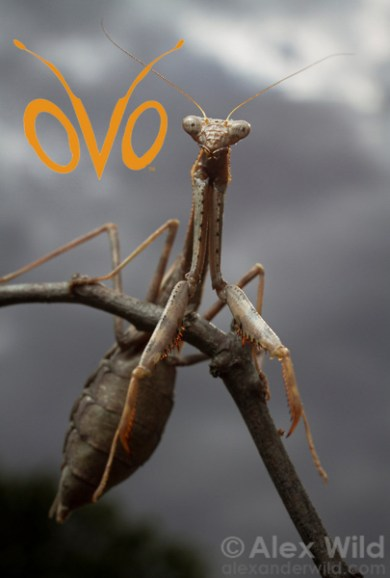Mantid and OVO logo