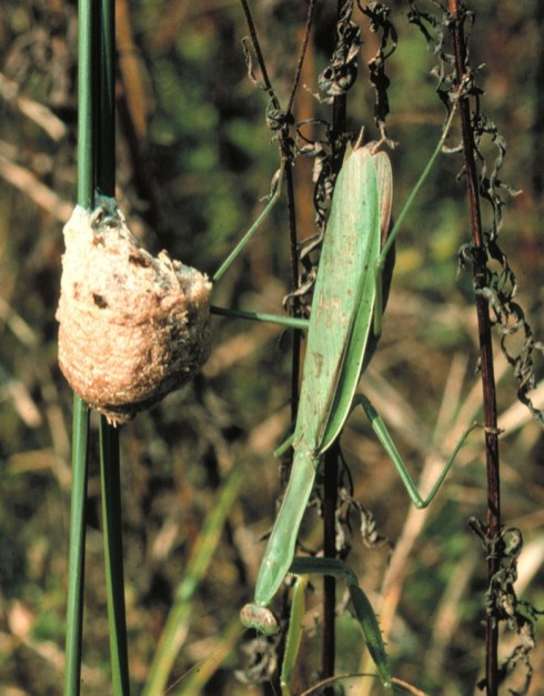 Chinese mantid (Tenodera aridifolia sinensis)