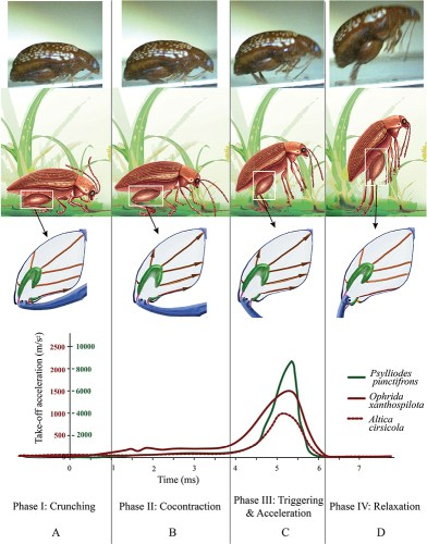 Flea beetle jump diagram