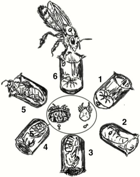 Varroa mite reproductive cycle