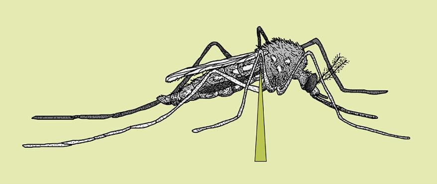 Mosquito ventral nerve cord incision diagram