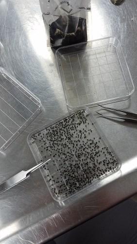 black flies on tray