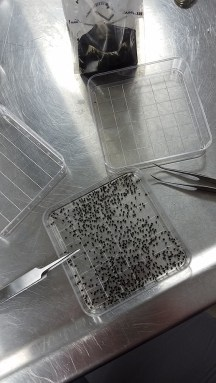 black flies on tray