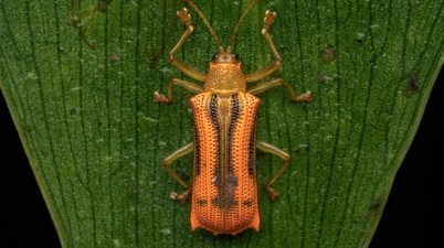 Hispinae sp. beetle
