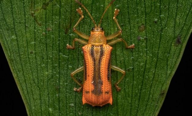 Hispinae sp. beetle