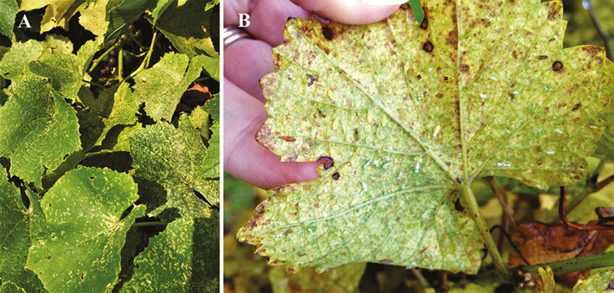 Eastern grape leafhooper damage