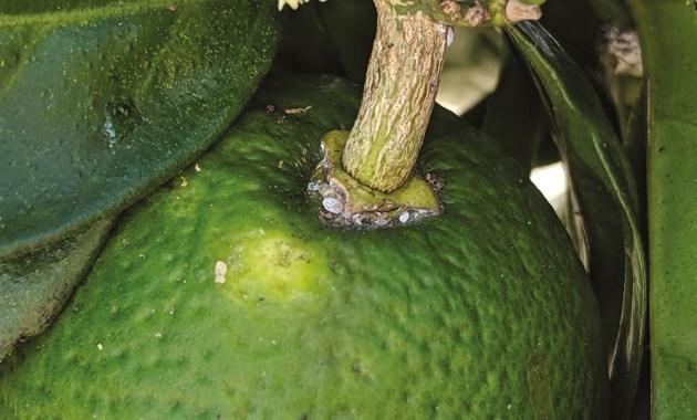 Nipaecoccus viridis on citrus
