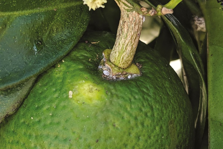 Nipaecoccus viridis on citrus